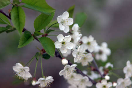florescence: cherry flowers