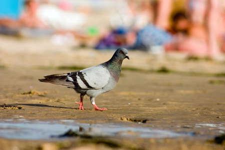Pigeon on the beach photo