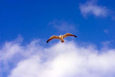frenzy: Flying seagull