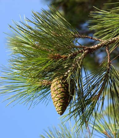 pinetree: Pine-tree branch Stock Photo