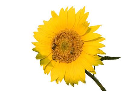 sunflower isolated: Le api su girasole isolato su sfondo bianco Archivio Fotografico