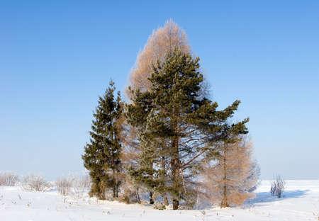 Frosten trees photo