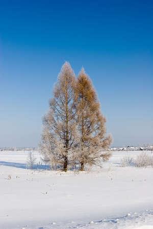 Frosten larches, Winter landscape photo