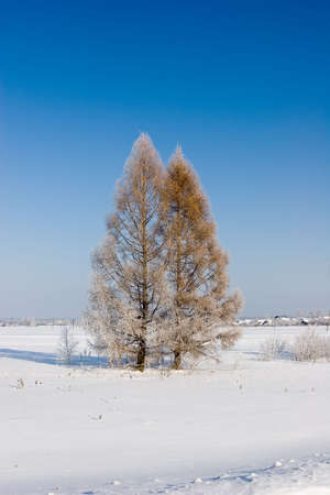 Frosten larches, Winter landscape Stock Photo - 355740