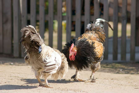 bantam hen: Game-cocks
