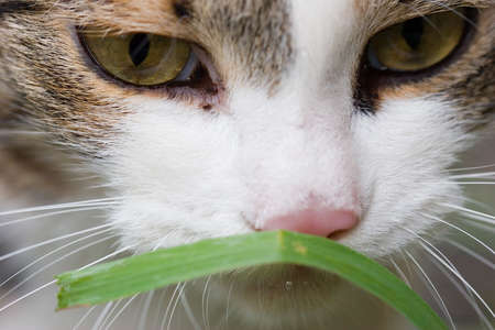 portret: Cat tasting grass close up portret Stock Photo