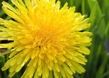 enduring: Dandelion