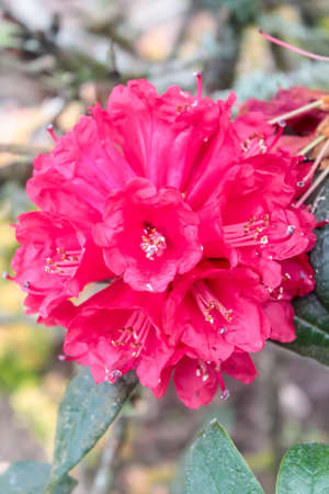 asterids: Rhododendron arboreum