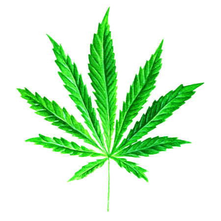 Bright green cannabis sativa leaf painted in watercolor. Realistic scientific illustration of plant. Hand drawn marijuana illustration isolated on white background. Design element