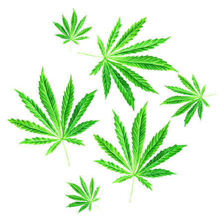 Bright green cannabis sativa leaves painted in watercolor. Green Marijuana background illustration. Hand drawn marijuana illustration isolated on white background. Design element Stock Photo