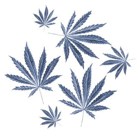 Bright cannabis sativa leaves painted in watercolor. Realistic scientific illustration of plant. Hand drawn marijuana illustration isolated on white background. Design element