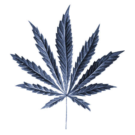 Bright cannabis sativa leaf painted in watercolor. Realistic scientific illustration of plant. Hand drawn marijuana illustration isolated on white background. Design element