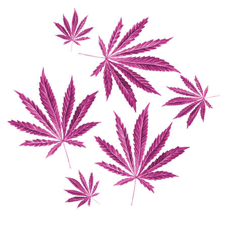 dope: Bright green cannabis sativa leaves painted in watercolor. Realistic scientific illustration of plant. Hand drawn marijuana illustration isolated on white background. Design element