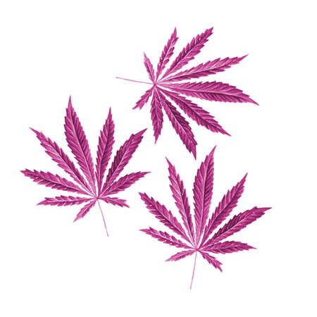 dope: Bright cannabis sativa leaves painted in watercolor. Realistic scientific illustration of plant. Hand drawn marijuana illustration isolated on white background. Design element