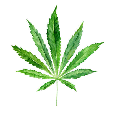 Cannabis sativa leaf painted in watercolor. Realistic scientific illustration of plant. Hand drawn marijuana illustration isolated on white background. Design element