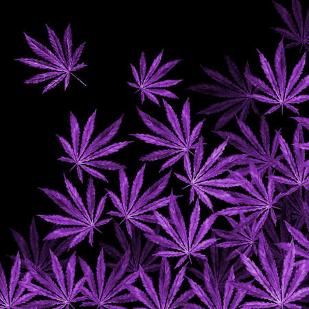 sativa: Purple Cannabis leaves on black background. Hand drawn watercolor illustration of the plant Cannabis Sativa or Marijuana. Pattern with marijuana leaf for label, poster, web. Stock Photo