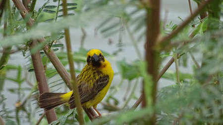 oriole: Oriole bird Stock Photo