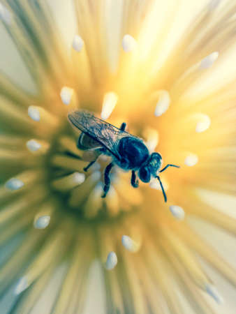 Close up of bee on white lotus flower.  Lotus flower close-up shot,Yellow pollen of lotus.