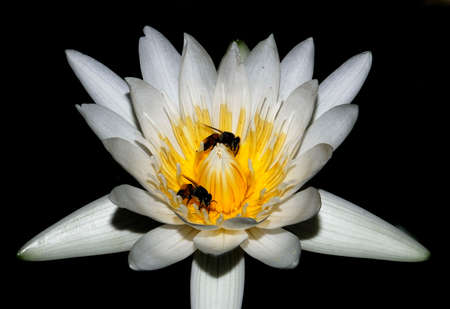 white lotus and bee