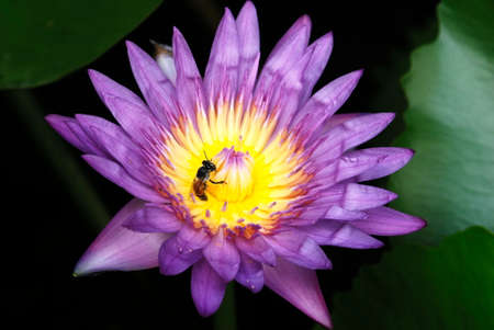 nymphaeaceae: blue lotus and bee Stock Photo