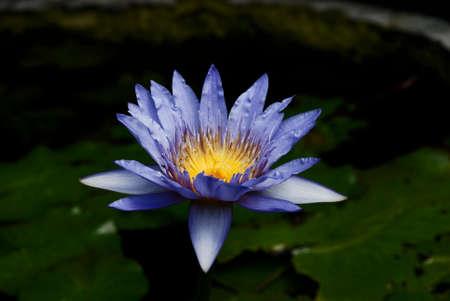 nymphaeaceae: blue lotus