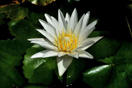 nymphaea: white lotus