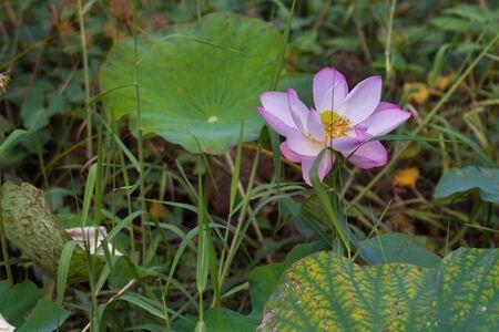 lotus blossom: Lotus blossom