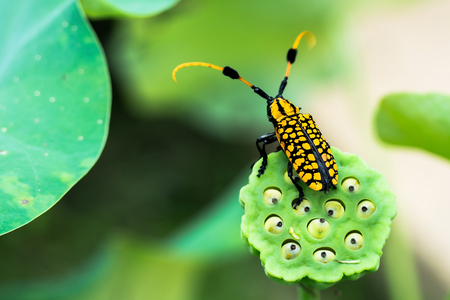 lotus seed: insect on the lotus seed.