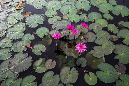 blooming: blooming lotus