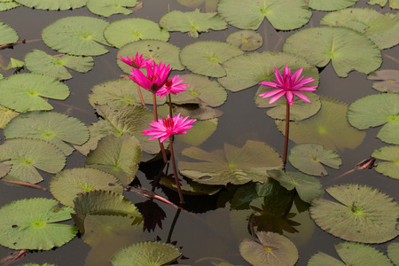 bl�hend: blooming lotus