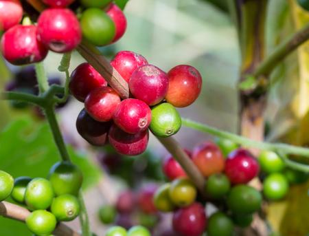 Coffee Arabica ripe fruit.