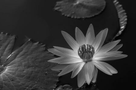 buddah: lotus flower