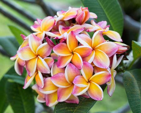 plumeria flower: plumeria flower