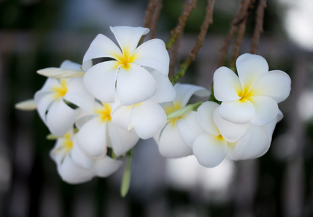 ranging: plumeria flower in the garden