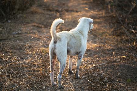 roebuck: Thailand Ridge back dog