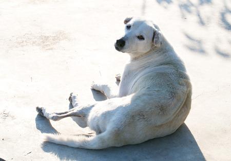 ridgeback: Thailand Ridge back dog