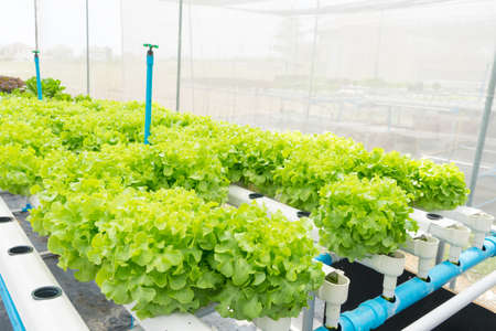 Organic hydroponic vegetable cultivation farm. Green leaf lettuce after water
