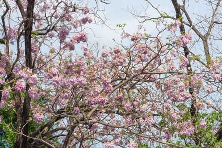 Tabebuia rosea is a pink flower neotropical treecommon name stock stock photo tabebuia rosea is a pink flower neotropical treecommon name pink trumpet tree rosy trumpet tree selective focus mightylinksfo