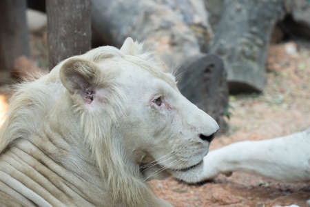 White lion in the zoo