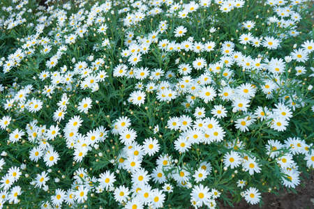 daisys: Large field of white daisies in residential area