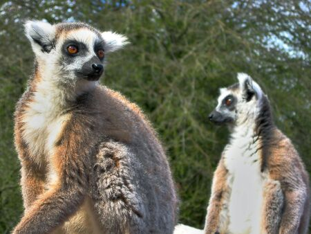 ring tailed: Two Ring Tailed Lemurs Looking Stock Photo