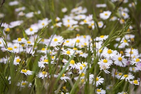 daisys: Daisys gathering in a field Stock Photo
