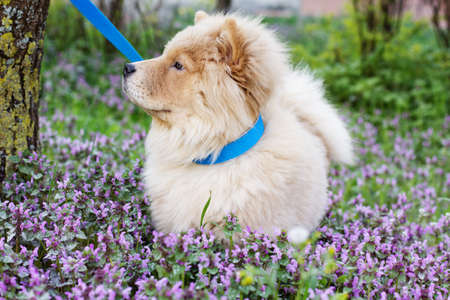 Сhow chow dog  in the grass, spring time photo