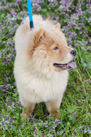 Ð¡how chow dog  on the nature, spring time photo