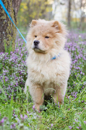 Hairy chow-chow dog  in the grass, spring time photo