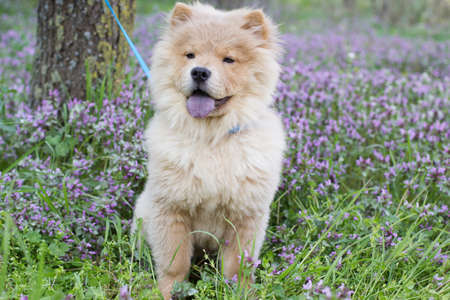 Ð¡how chow dog sitting in the grass, spring time photo