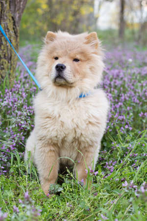 Сhow-chow dog  walking on the nature, spring time photo