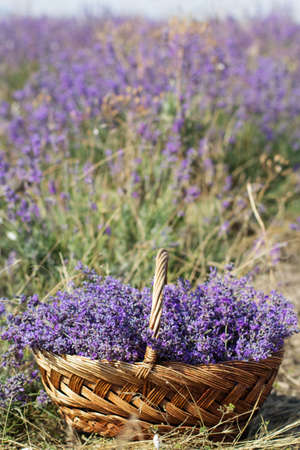Basket with lavender flowers, summet time photo