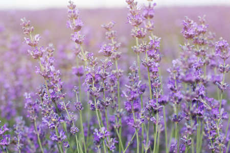 Beautiful purple field of lavender flowers photo