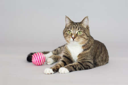 Tabby adult cat plays with ball isolated on grey
